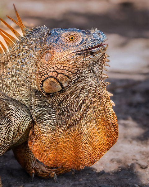 Iguana in Mating Colors