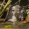 Lunch of River Otter