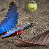 Morpho Butterfly on the Fruit