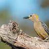 Woodpecker (Portrait)
