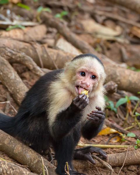 Capuchin Monkey Eating