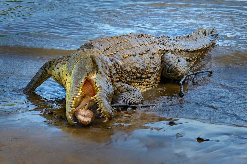 Crocodile With Nut Shell
