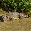 Saltwater Crocodile on Land
