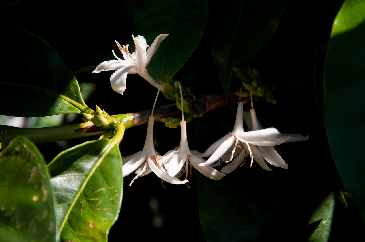 Coffee blossoms....