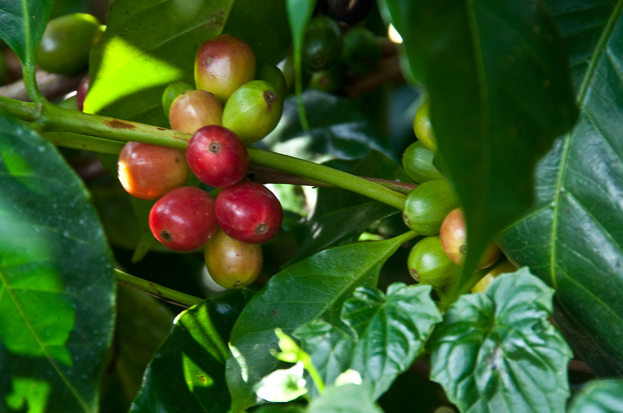 Every degree of ripeness. A partial red cherry is called a pinton.<br /> Because it rains sporadically right through every month, including harvest, every degree of ripeness is to be found on the coffee trees.  In Boquete each tree requires twelve or more pickings.  Very laborious and expensive!
