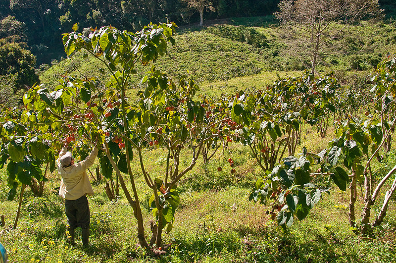 """At Finca Elida, another high quality producer - picking orange colored tree tomatoes.  See  <a href=""""http://www.hort.purdue.edu/newcrop/morton/tree_tomato.html"""">http://www.hort.purdue.edu/newcrop/morton/tree_tomato.html</a>"""