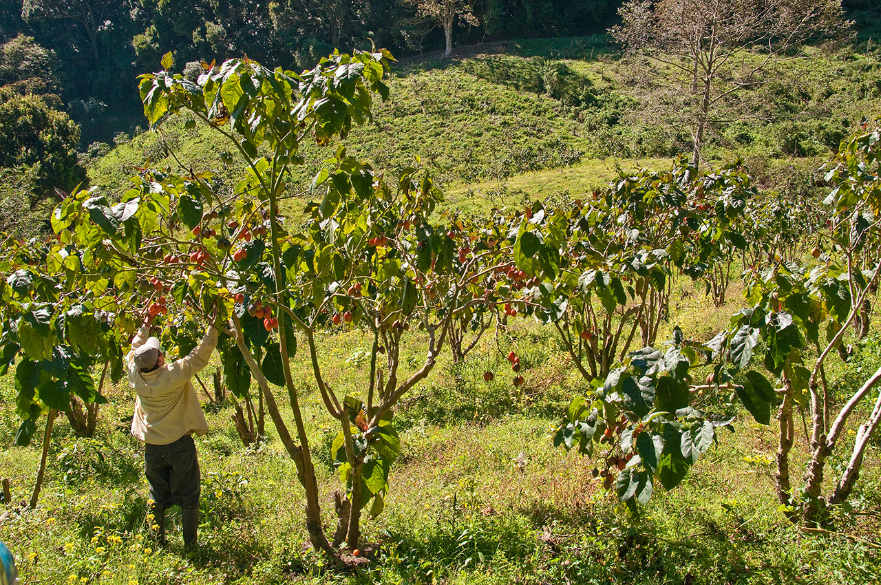"At Finca Elida, another high quality producer - picking orange colored tree tomatoes.  See  <a href=""http://www.hort.purdue.edu/newcrop/morton/tree_tomato.html"">http://www.hort.purdue.edu/newcrop/morton/tree_tomato.html</a>"