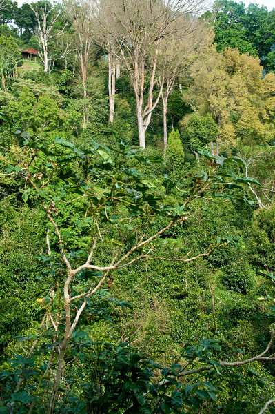 This is the La Esmeralda plot of Gesha coffee trees called Mario, at elevation 5,000 to 5,400 feet.  Our current (Feb. 2010) offering of La Esmeralda (2009 crop) is from this plot.