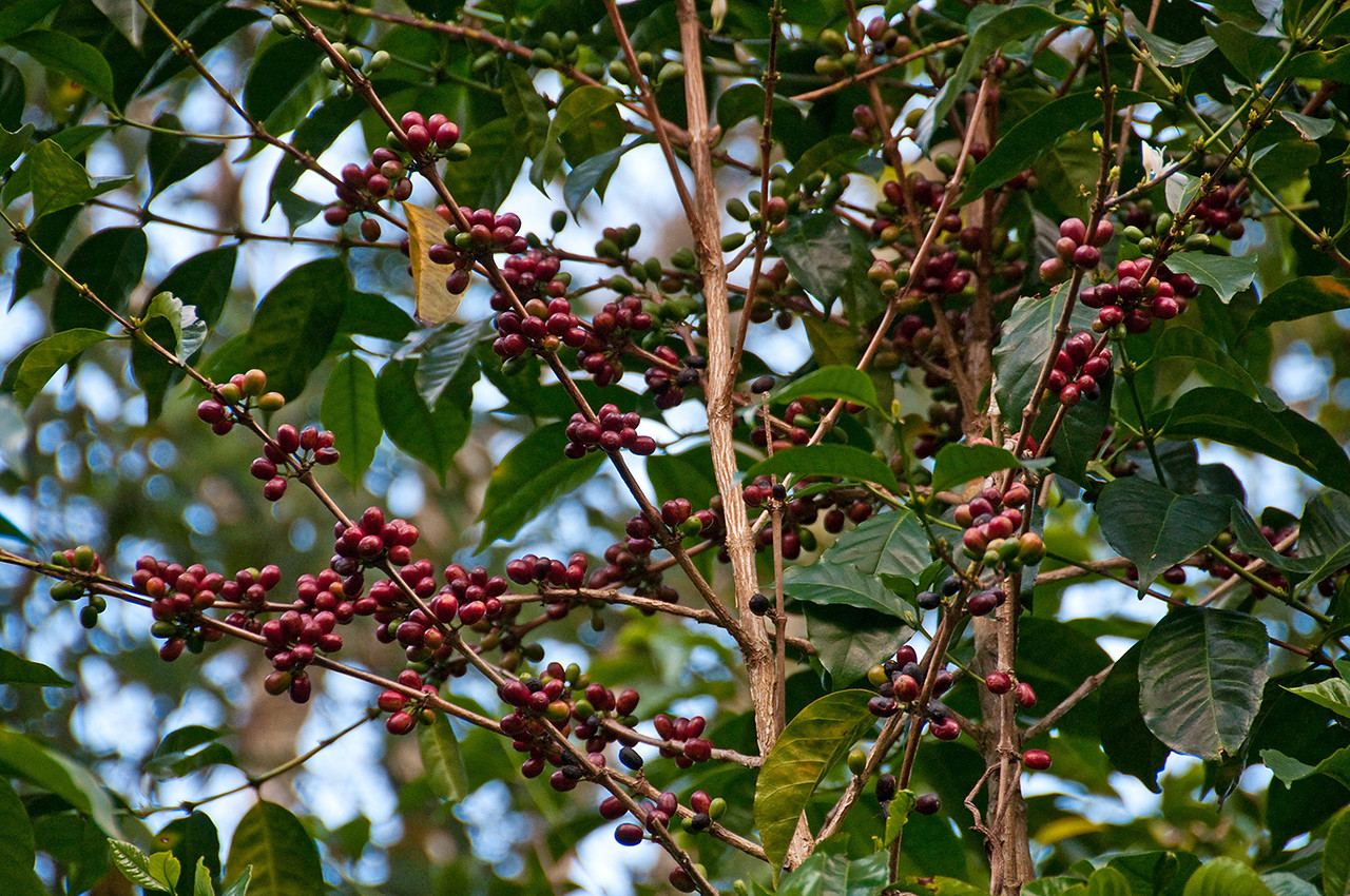 This Gesha has a lot of cherries - for Gesha; it is a low producer.  Most of the cherries grow in the upper part of the tree (note the angles of the branches).
