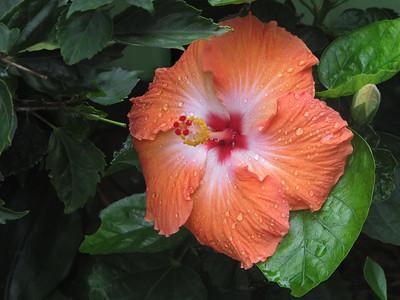Boquete Hibiscus