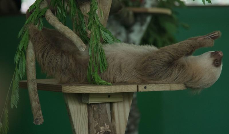 Sloth at Gamboa Reserve