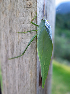 False Leaf Katydid