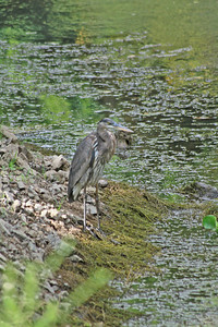 Heron on the Hunt