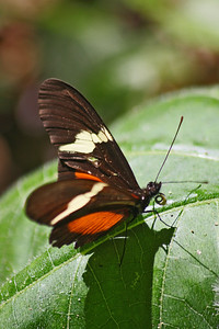 Heleconius Butterfly