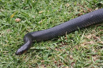 Mussurana (Clelia) Snake