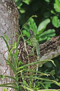 Iguana Incognito