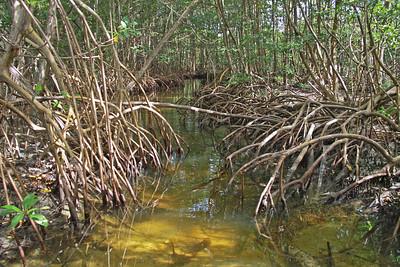 Mangrove Chaos
