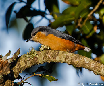 Chesnut-bellied Nuthatch