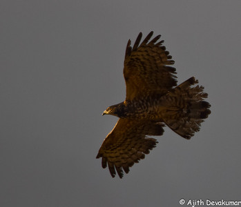Oriental Honey Buzzard (juv)