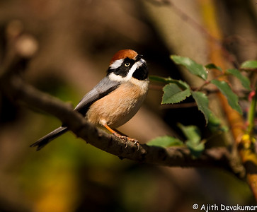 Black-throated Tit