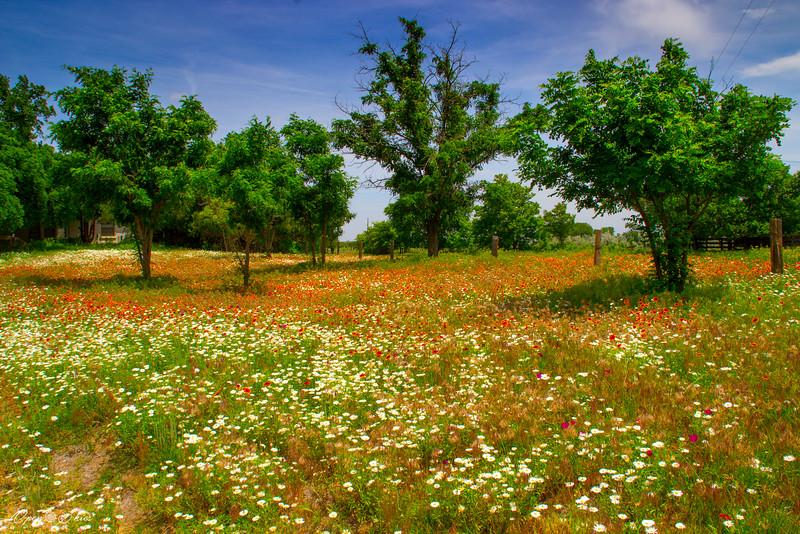 Field of flowers near Canadian, Texas