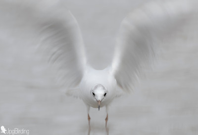Seagull - panning