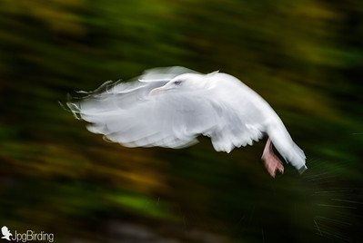 Seagull - panning