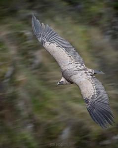 Griffon vulture in flight. Duraton