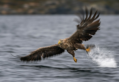 White-tailed eagle. Norway series. - LOW SPEED