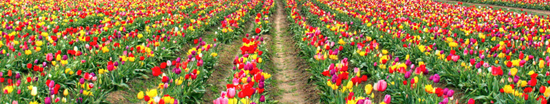 colorfultulips