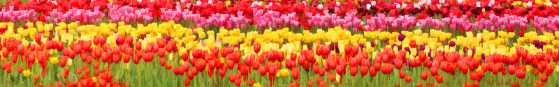 tulip fields_2