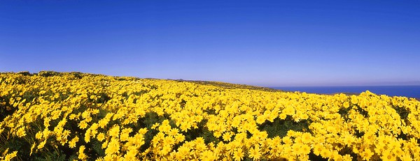 California, Channel Islands National Park, Anacapa Island, Coreopsis