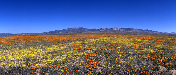 California, Antelope Valley poppies
