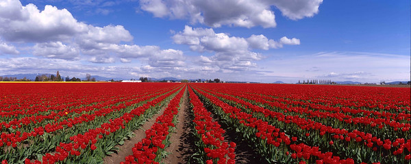 Washington, Tulip field, Skagit Valley