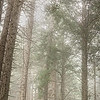 Misty Redwoods, Sea Ranch, California