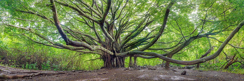 Banyan Tree Panoramic, Maui, Hawaii
