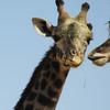 Giraffe secrets