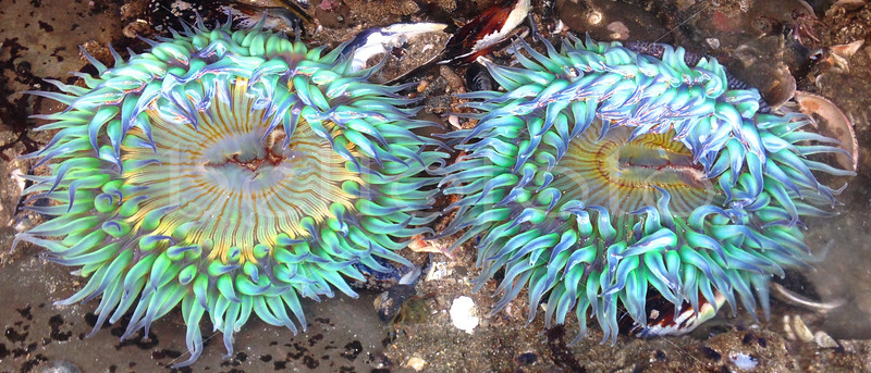 """Neon Sea Anemones"" - Shell Beach, California"