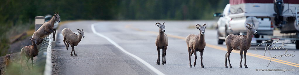 A small herd of Bighorn Sheep cross this two-lane highway amidst fast moving traffic.
