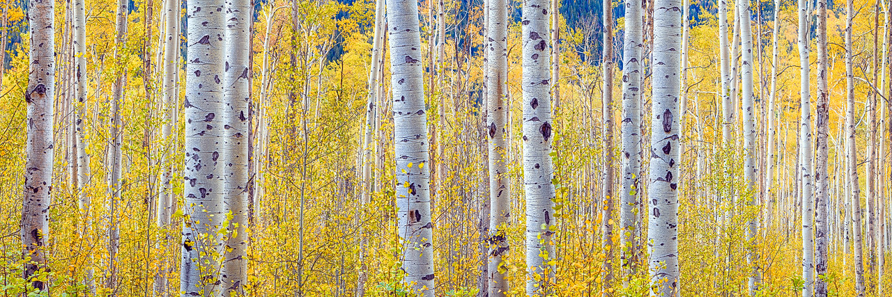 Independence Aspens, Colorado