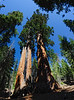 Giant Sequoia - Sequoia National Park - California