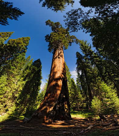 Giant Sequoia, Sequoia NP, California