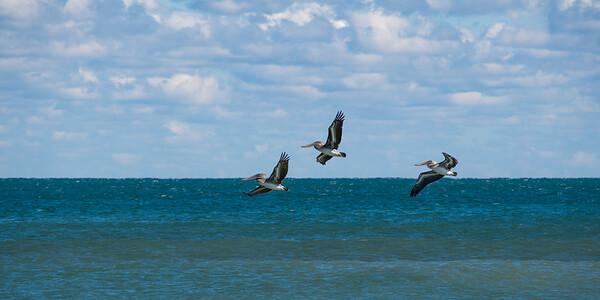 Pelicans 7640