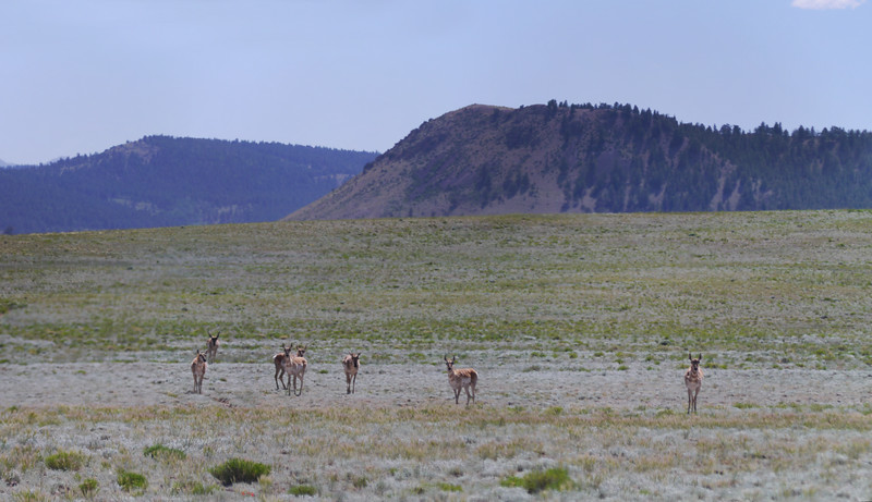 Antelope outside Antero Resevoir, CO
