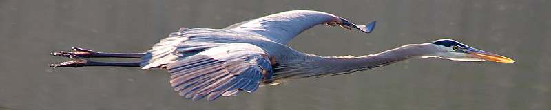 Great Blue Heron Pano 2012
