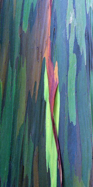 Rainbow Eucalyptus II<br /> (Stitched Panorama)