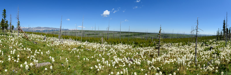 Field of Bear grass (Xerophyllum tenax) near Two Medicine Lake, Glacier National Park, Montana