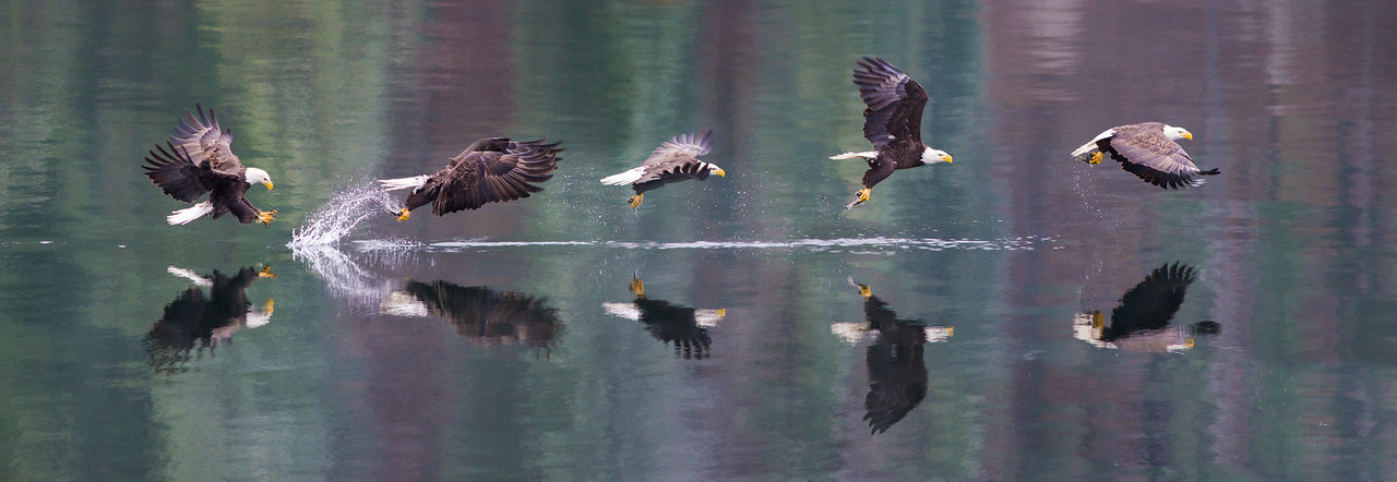 Bald Eagle Choreography