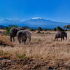 Elephants in front of Mt. Kilimanjaro, Kenya