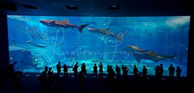 The Okinawa Aquarium home to some of the largest animals on the planet, the whale shark!